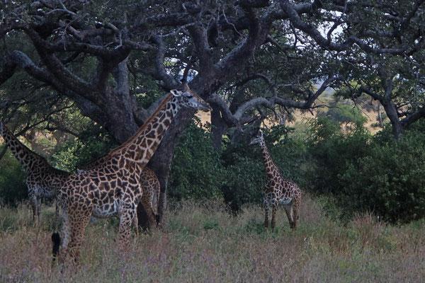 Giraffen im Tarangire NP