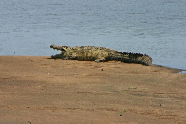 Krokodil / crocodil