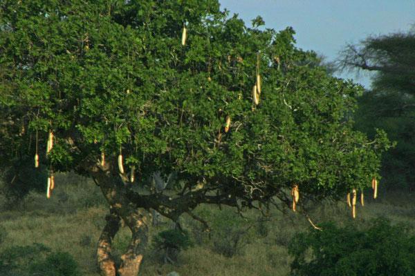 Leberwursbaum im Tarangire NP