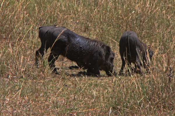 Warzenschweine in der Serengeti / Wart hogs in the serengeti