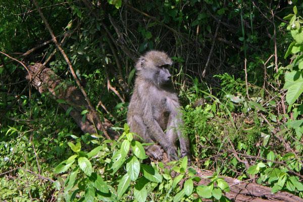 Pavian Arusha NP / Baboon Arusha NP