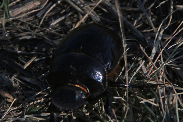 Käfer /Beetle