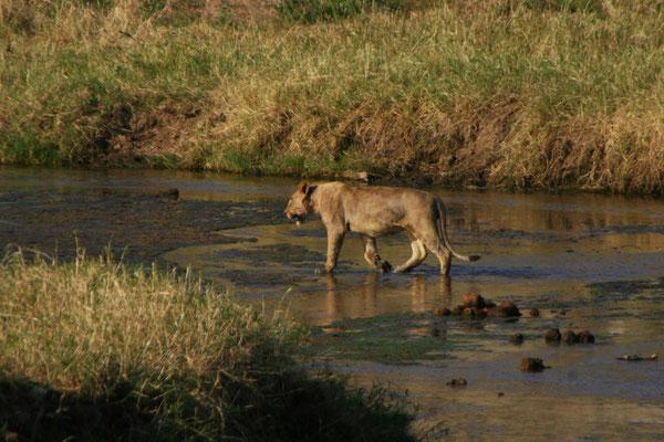 Löwe im Tarangire NP / Lion in Tarangire NP