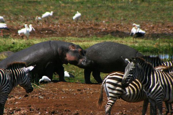 Flusspferde im Manyara NP / Hippos in the Manyara NP