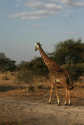 Giraffe im Tarangire NP