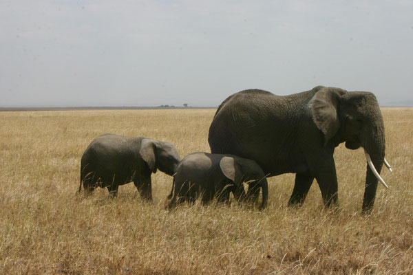 Elefanten in der Serengeti / Elephants in the serengeti