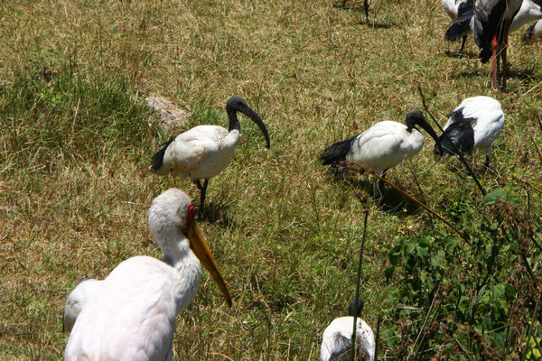 Ibisse im Ngorongoro / Ibis in the ngorongoro