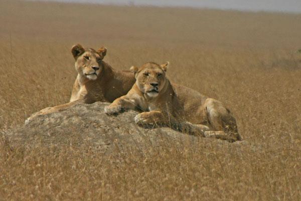 Löwen in der Serengeti / Lions in the serengeti