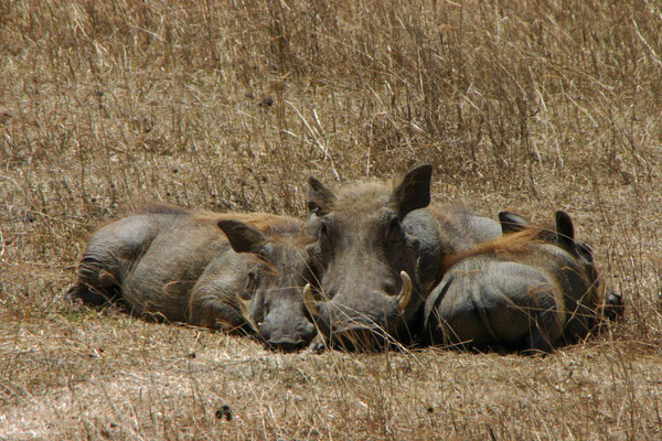 Warzenschweine im Ngorongoro / wart hogs in the ngorongoro
