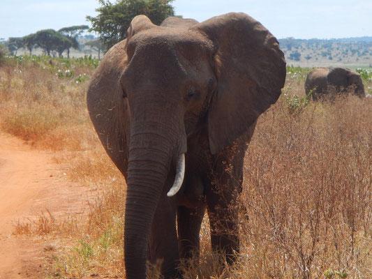 Elefant im Tarangire NP / Elephnat in Tarangire NP
