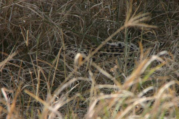 Gepard im Versteck im Tarangire NP / Cheetah in hiding in Tarangire NP