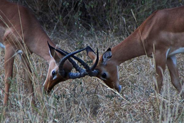 Thomson Gazellen im Tarangire NP / Thomson gazelles in Tarangire NP