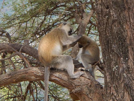 Grüne Meerkatze im Manyara NP