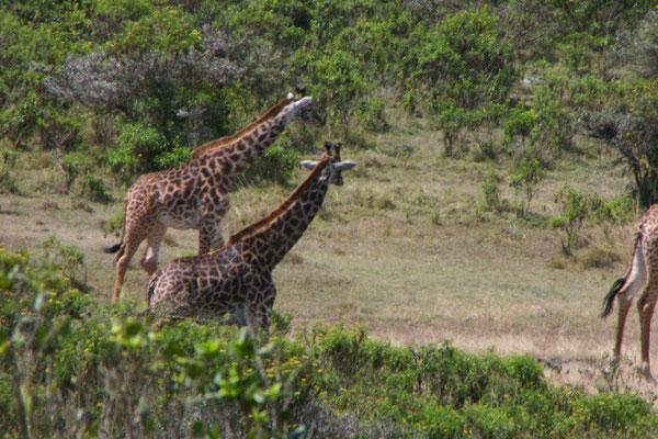 Giraffen im Arusha NP / Giraffe in the Arusha NP