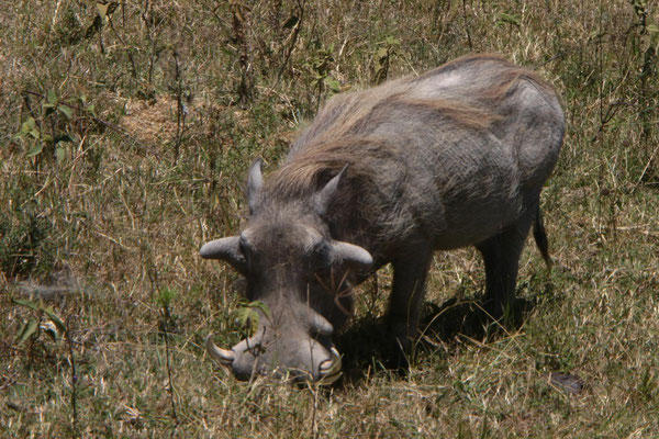 Warzenschwein im Ngorongoro / wart hog in the ngorongoro