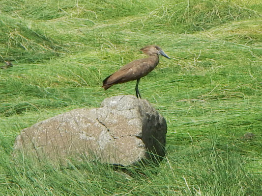 Hammerkopf / Hammerhead bird