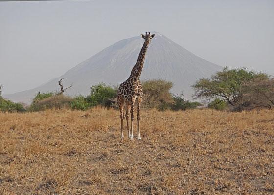 Giraffe und Ol Doinyo Lengai