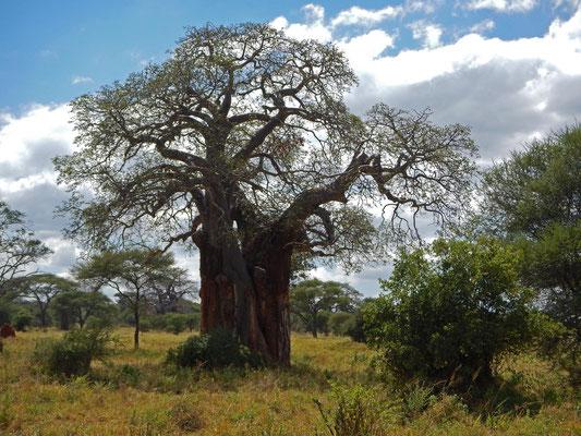 Baobab im Tarangire NP