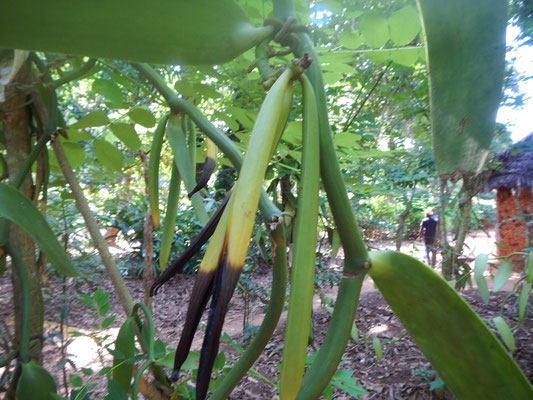 Gewürzfarm - Vanille / spice farm