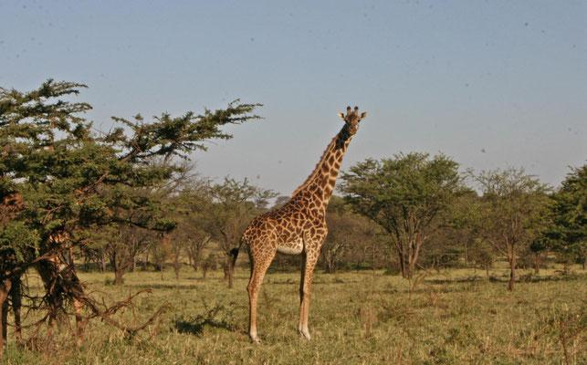 Giraffe in der Serengeti / Giraffe in the serengeti