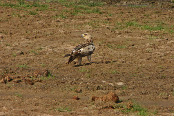 Raubvogel im tarangire NP / Bird of prey in Tarangire NP