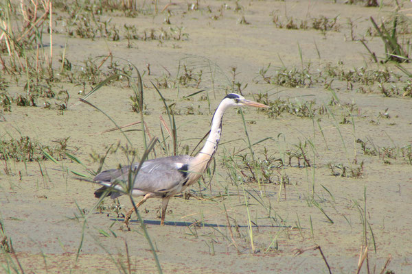 Graureiher am Lake Manyara / gray heron on the Lake Manyara
