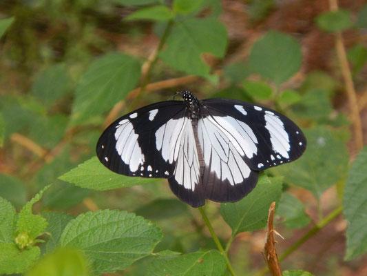 Schmetterlingsfarm auf Sansibar / butterfly farm in Zanzibar