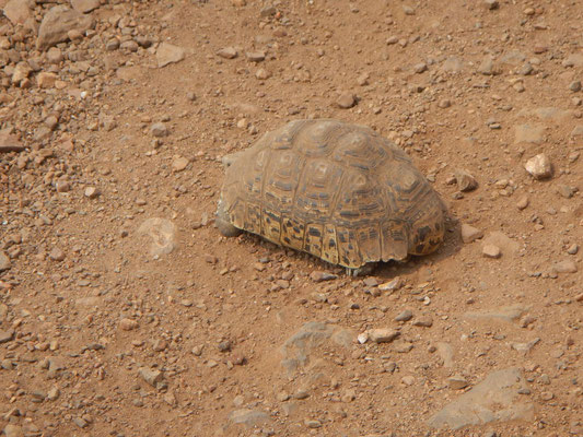 Landschildkröte / Turtle