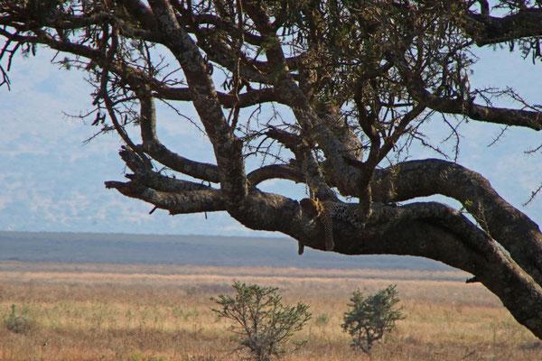 Leopard im Baum / Leopard in the tree