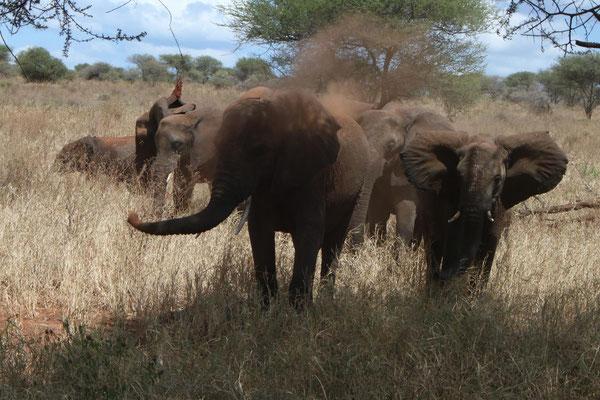 Elefantengruppe im Tarangire NP / Elepgant group in Tarangire NP