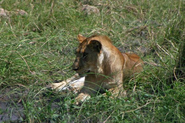 junger Löwe in der Serengeti / young lion in the serengeti