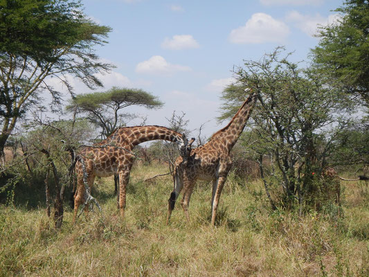 Giraffen in der Serengeti / Giraffes in the serengeti