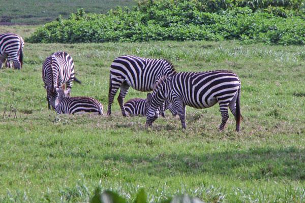 Zebras Arusha NP