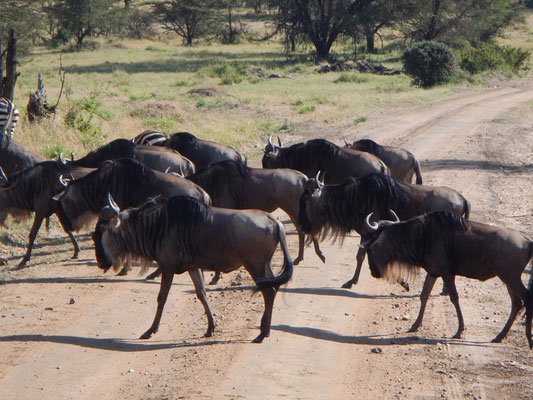 Gnus zur Migration / Gnus for migration
