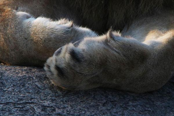 Löwenpfote / Lion paw