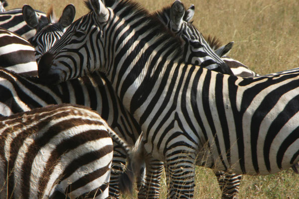 Zebras in der Serengeti