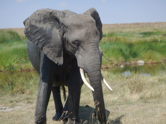 Elefant in der Serengeti / Elphant in the serengeti