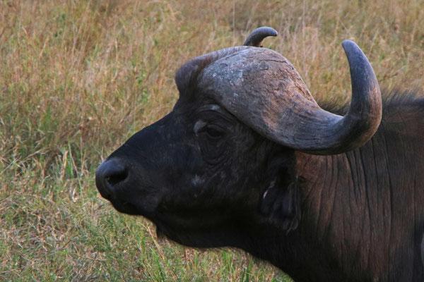 Büffel / Buffalo