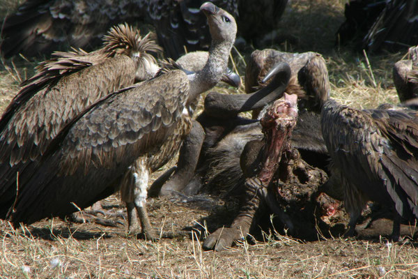Geier / Vulture