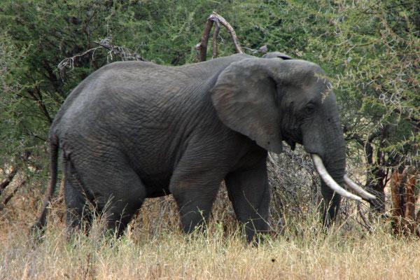 Elefant im Tarangire NP / Elephant in Tarangire NP