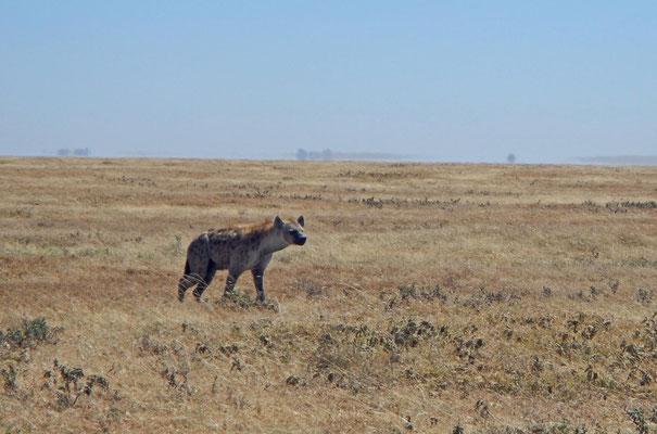 Hyäne / hyena