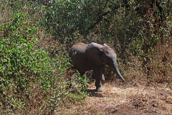 Elefant im Manyara NP / Elephant in the Manyara NP