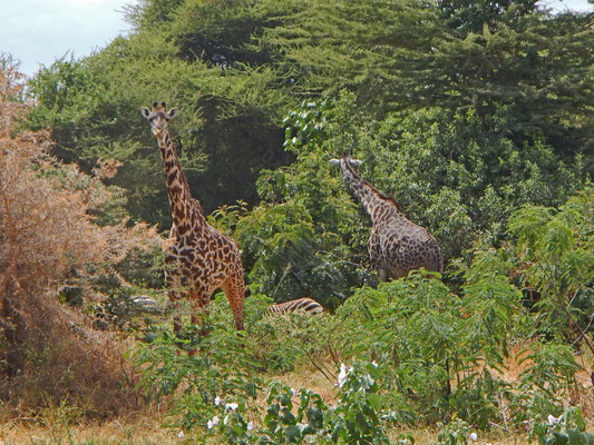 Giraffen im Manyara NP / Giraffe in the Manyara NP