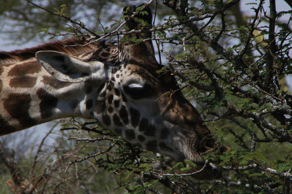 Giraffenkopf / Giraffe head