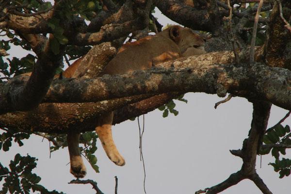 Löwe im Baum / Lion in the tree