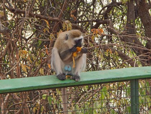 Affen im Tarangire NP / Monkeys in Tarangire NP
