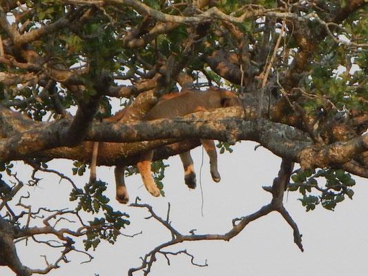 Löwe auf dem Baum / Lion on the tree