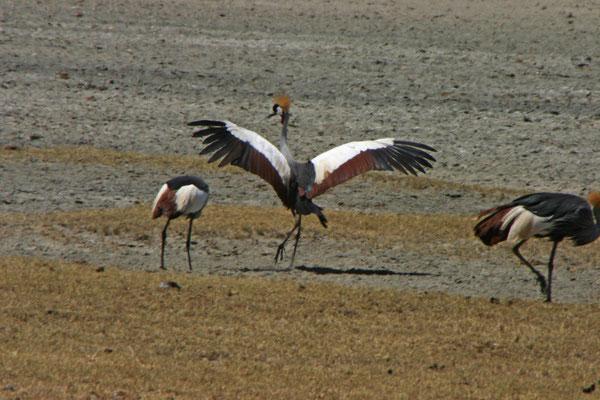 Haubenkranich im Ngorongoro /