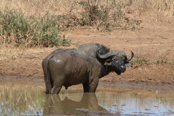 Büffel im Tarangire NP / Buffalo in Tarangire NP