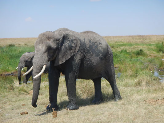 Elefant in der Serengeti / Elephant in the serengeti